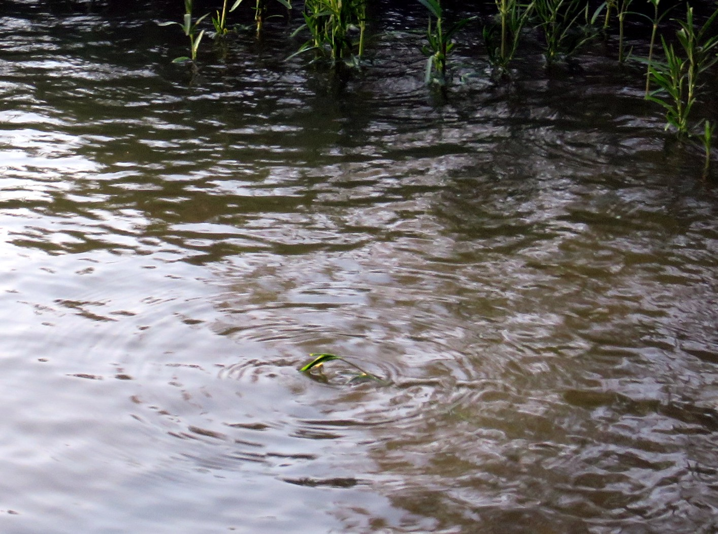 Ripples in Water headed to shore